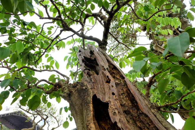 chau-bonsai-sua-do-gia-14-ty-dong-o-ha-noi-co-gi-dac-biet