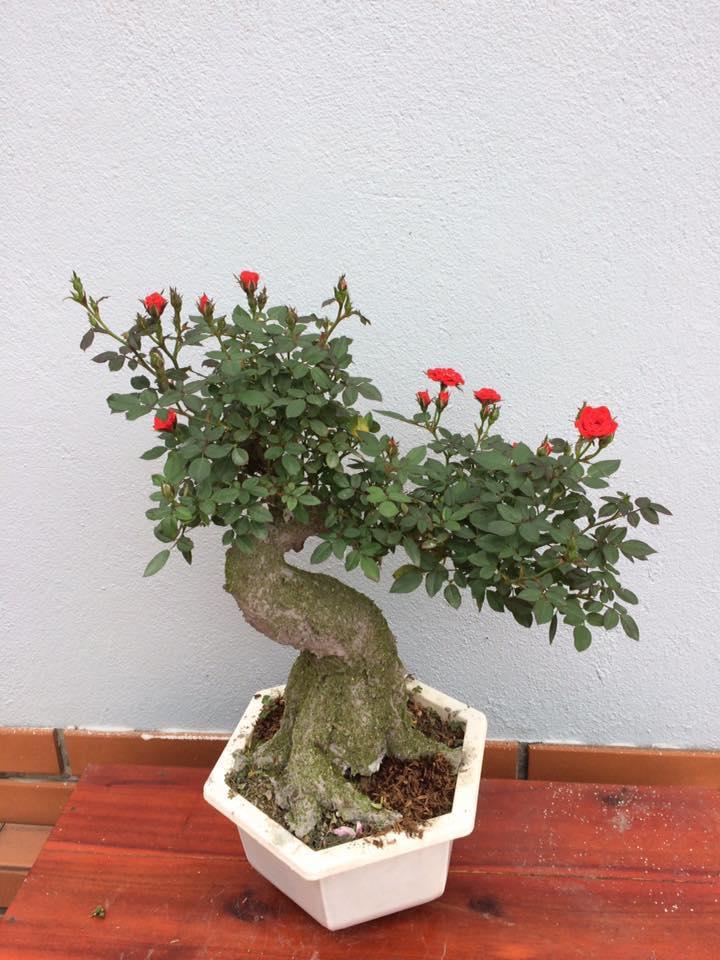 2-loai-cay-bonsi-doc-la-gia-tien-trieu-hut-khach-dip-tet-mau-tuat-2018