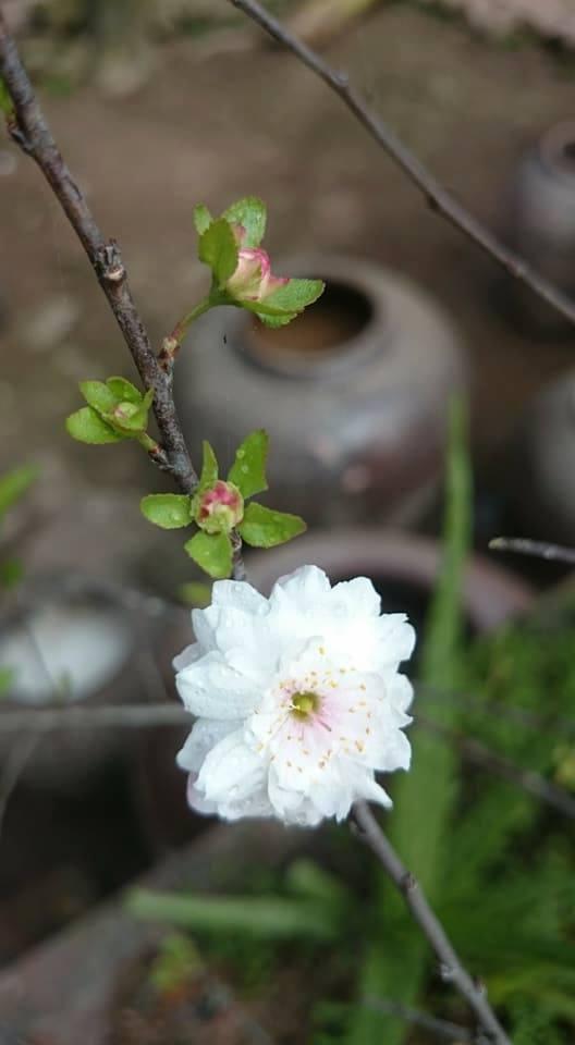 bonsai-nhat-chi-mai-gia-tien-trieu-do-bo-thi-truong-tet-mau-tuat-2018