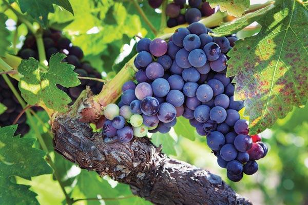 Loại nho vùng Burgundy