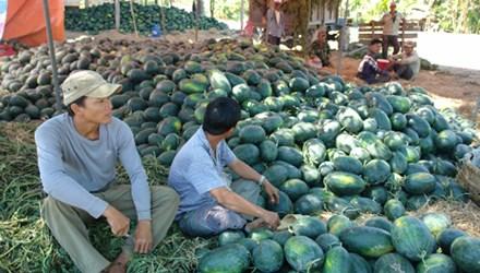 Dưa Tết Bình Thuận bán đổ đống ven đường do thương lái không thu mua