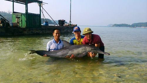 Cá heo ước chừng 50kg được ngư dân thả về biển