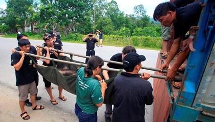 Theo tin tức mới cập nhật trong nước, Tổ chức Động vật châu Á đang tổ chức chiến dịch cứu hộ gấu lớn nhất trong vòng 4 năm nay