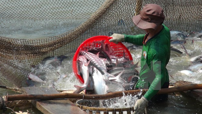 Thu hoạch cá tra ở An Giang