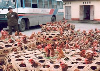 Số gà lậu bị tịch thu tại Quảng Ninh, theo tin tức pháp luật mới nhất hôm nay