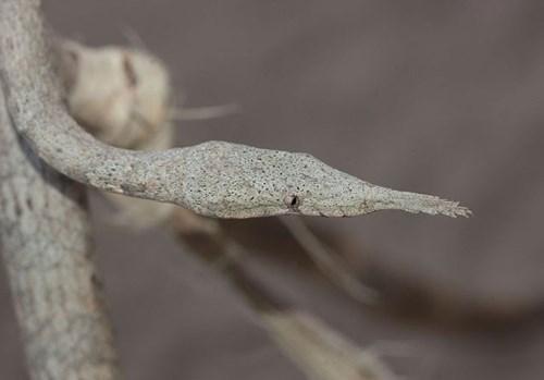 Rắn độc đuôi nhện được coi là một trong những loài rắn đáng sợ nhất thế giới