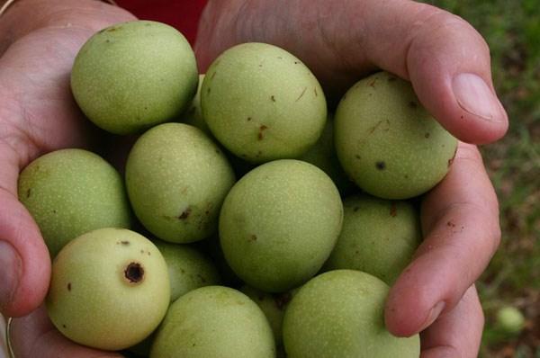 Trái cây lạ này có tên Marula phát triển nhiều ở Nam Phi