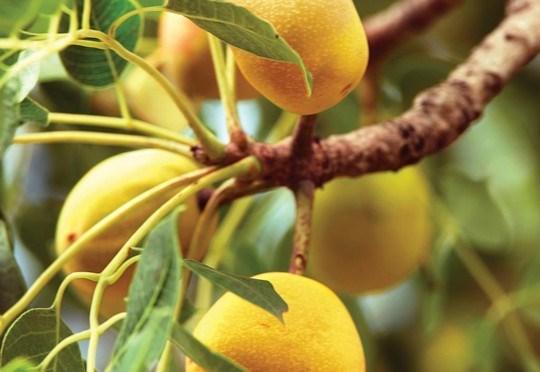 Khi chín chúng có màu vàng và hương vị thơm ngon