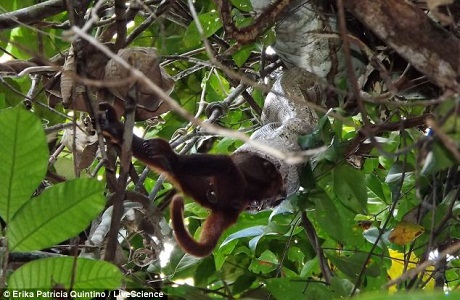 Trăn khổng lồ tóm gọn khỉ là chuyện rất hiếm gặp