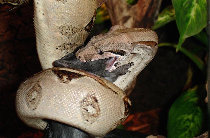 Loài trăn khổng lồ Boa constrictor có thể dài tới 4 mét và sống tới 30 năm. Ảnh News discovery