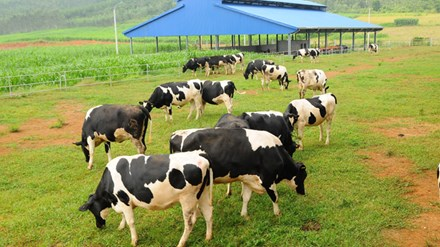 Trang trại bò sữa thứ 7 tại Hà Tĩnh của Vinamilk đi vào hoạt động