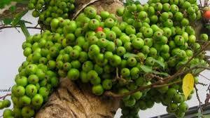 Hoa trái mùa xuân: Vị thuốc rất quý đối với người Việt