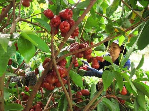 du lịch miền Tây đừng quên khám phá các miệt vườn trái cây thơm ngon nức tiếng
