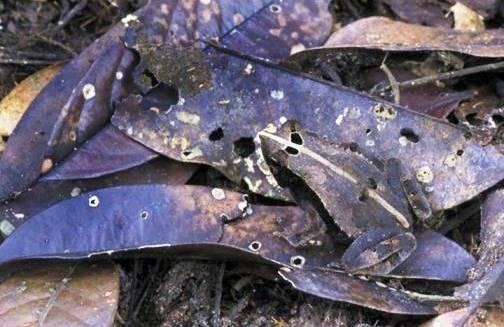 Nghệ thuật ngụy trang của loài ếch