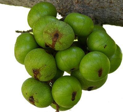 Mẹ bầu nên ăn sung để đạt hiệu quả trong việc trị táo bón