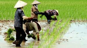 trồng lúa cho năng suất cao