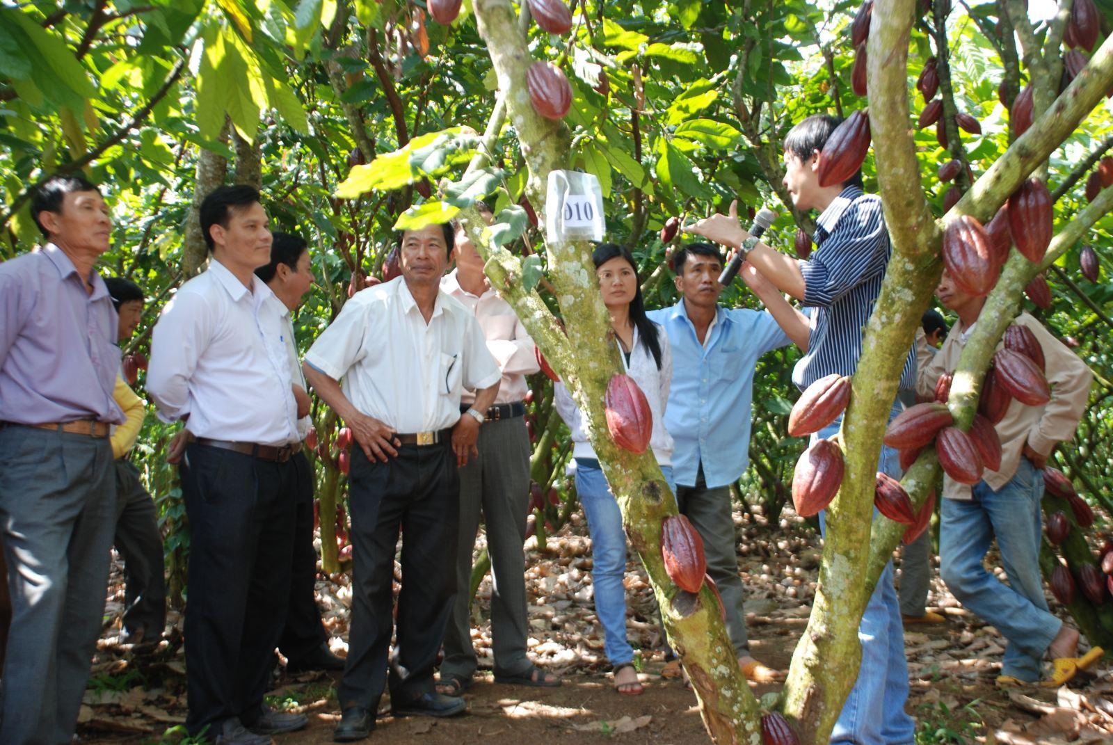 Phổ biến Quy trình Kỹ thuật Sản xuất Ca cao cho các tỉnh phía Nam