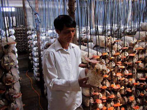 Kiên Giang: Nâng cao năng suất chất lượng trồng nấm trong dân