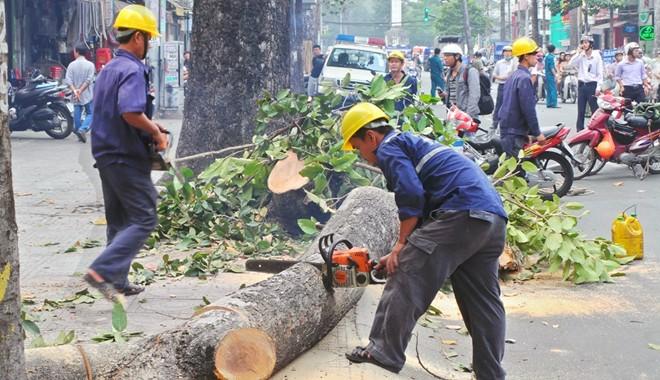 Thanh tra Chính phủ chính thức vào cuộc vụ chặt cây xanh
