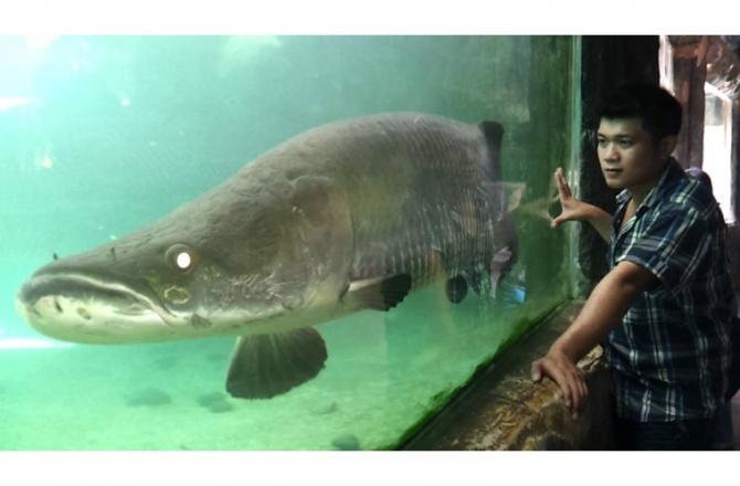 Cá hải tượng là sự lựa chọn của nhiều đại gia Việt chơi ngông