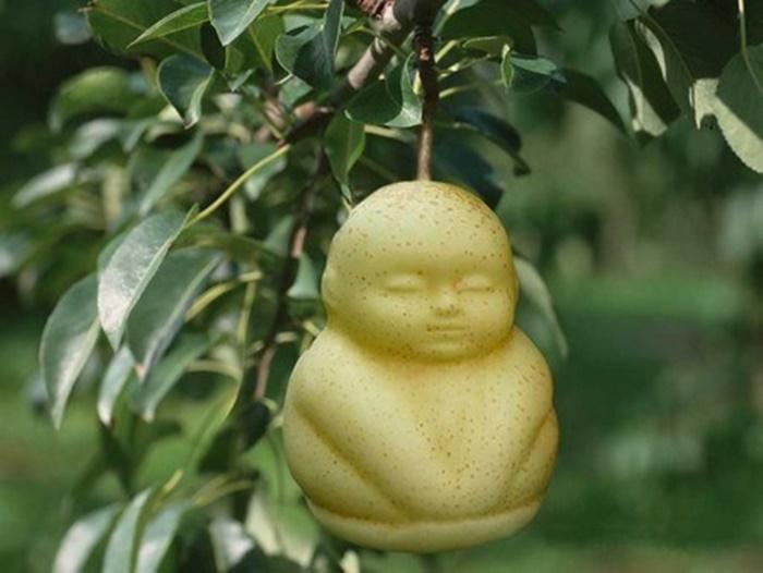 Sau khi quả lê phát triển đầy đủ sẽ lấp đầy khuôn nhựa và từ đó tạo nên trái lê có hình dáng giống như em bé.