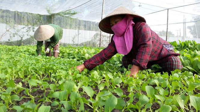 TPHCM kỳ vọng năng suất chất lượng mặt hàng rau xanh trên địa bàn thành phố được nâng cao, phục vụ nhu cầu của người dân