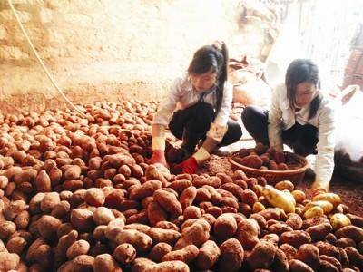 Nhuộm đất đỏ Đà Lạt cho khoai tây Trung Quốc