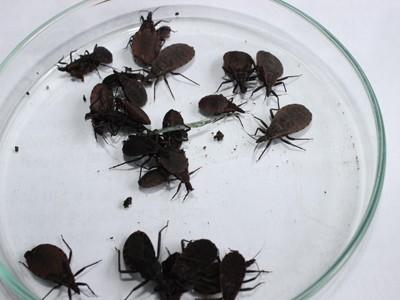 Những cá thể bọ xít hút máu được phát hiện ở Hoài Đức, Hà Nội. Ảnh: Nguyễn Hoài.