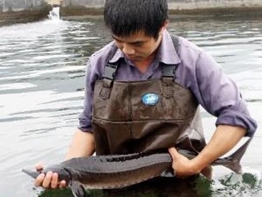 Xác định nguồn gốc cá tầm trên thị trường là việc rất khó. (Ảnh: TTXVN)