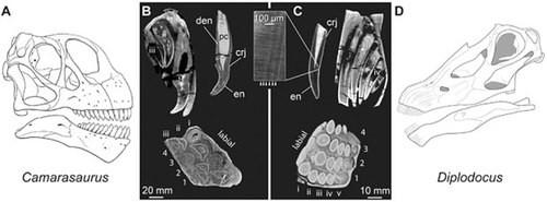 Ảnh quét hộp sọ các loài khủng long cho thấy răng của chúng xếp chồng nhau.