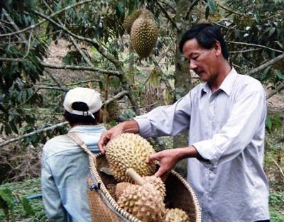 Sầu riêng Khánh Sơn nổi tiếng thơm ngon đang bị thương lái dùng hóa chất ép chín.