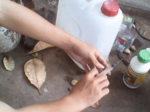 Dùng ống chích để bơm vào cuống trái mít ép chín sớm