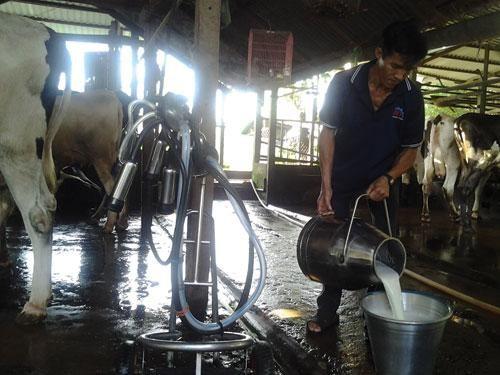 vắt sữa bò tươi
