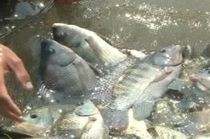 Cơ quan quản lý ATTP (Bộ Y tế) sẽ tiến hành xác minh thông tin thủy sản nhiễm kim loại nặng