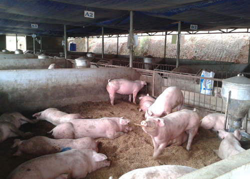 Thịt lợn sạch bây giờ rất hiếm trên thị trường