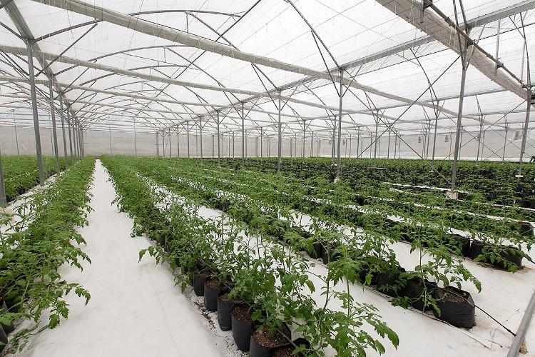 Toàn bộ quá trình từ gieo ươm, chăm sóc, thu hái, sơ chế và đóng gói các sản phẩm rau, quả được tổ chức một cách bài bản