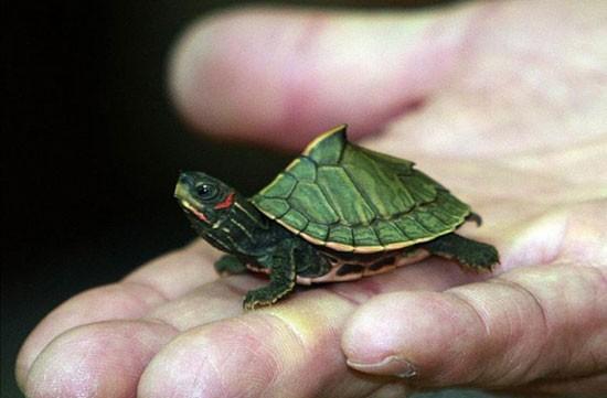 Nguy hiểm thú chơi nuôi rùa xanh của giới trẻ