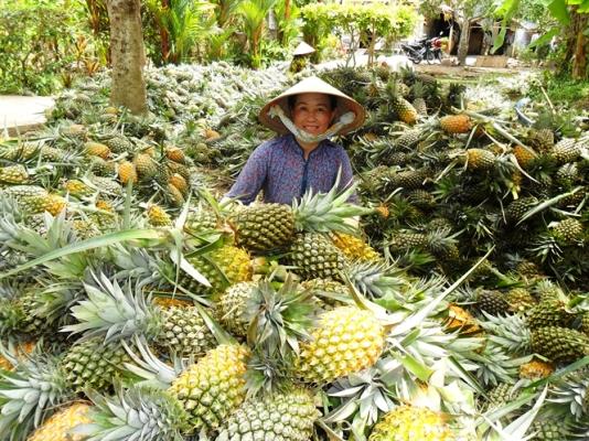 Ứng dụng VietGAP vào sản xuất đã đem lại nguồn lợi không nhỏ về năng suất cho cây dứa ở Hậu Giang