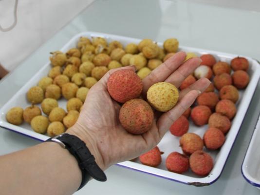 Những trái vải đến từ Hải Dương lần đầu tiên được chiếu xạ tại Trung tâm Chiếu xạ Hà Nội trước khi xuất khẩu