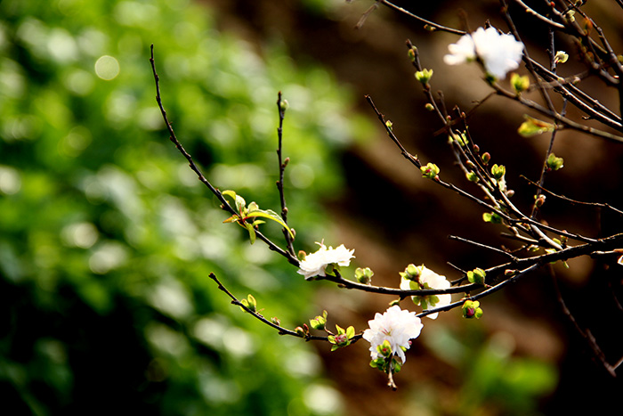 Nếu bất chợt thấy mai trắng trong vườn nhà ai đó, thấy mai khiêm nhường, thanh tú bên bàn trà hoặc một khoảng lặng của căn phòng, ta sẽ có một cảm giác lạ thường nó vừa thánh thiện lại vừa êm đềm của không gian sống và đặc biệt cảm nhận được nét đẹp nhã nhặn của chủ nhân ngôi nhà