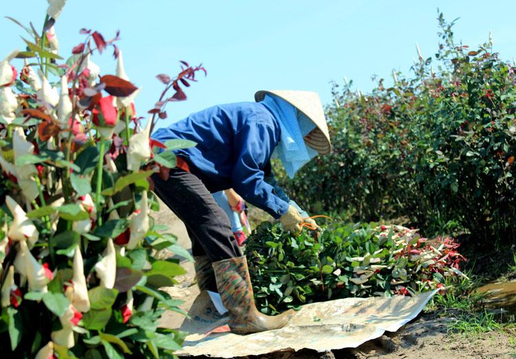 Mỗi hộ dân nơi đây hằng ngày đưa ra thị trường cả nước hàng ngàn cành hoa hồng các loại.