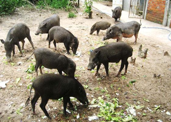 Lợn mán cũng là một đặc sản của người dân tộc miền núi. Lợn mán thường có trọng lượng nhỏ và thường có mầu đen. Mỗi con lợn mán ở tuổi trưởng thành thường có trọng lượng khoảng 10 - 20 kg. Thịt lợn mán thơm ngon, không béo và thường có giá cao hơn nhiều lần so với thịt lợn thông thường.
