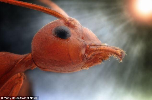 """Con kiến màu đỏ này trông giống như một nhân vật trong một bộ phim khoa học viễn tưởng và ánh sáng giống như """"mặt trời"""" đang chiếu thẳng vào con vật càng làm tăng sự hung bạo."""