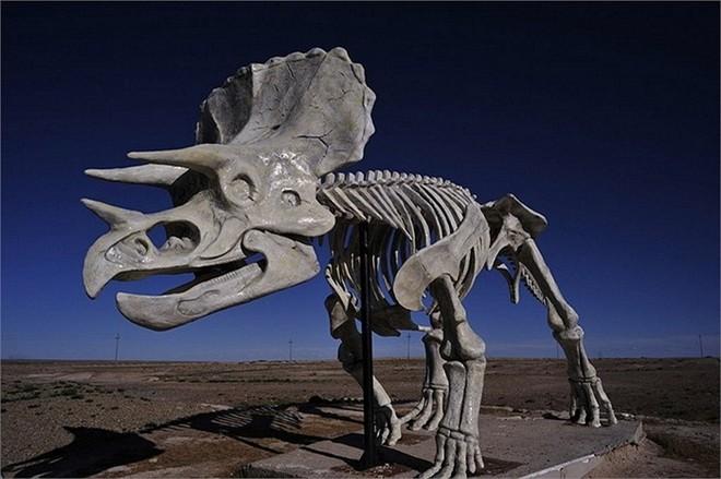 Cận cảnh khung xương của loài khủng long có sừng.