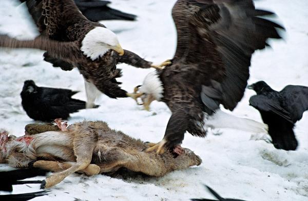 Những chú Đại bàng đầu trắng di cư dọc theo dòng sông Mississippi trong mùa Xuân, đến vùng Bắc Mỹ và Canada, nơi chúng có thể tìm được nhiều thức ăn và đôi khi được dự những bữa tiệc thịnh soạn với bầy quạ.