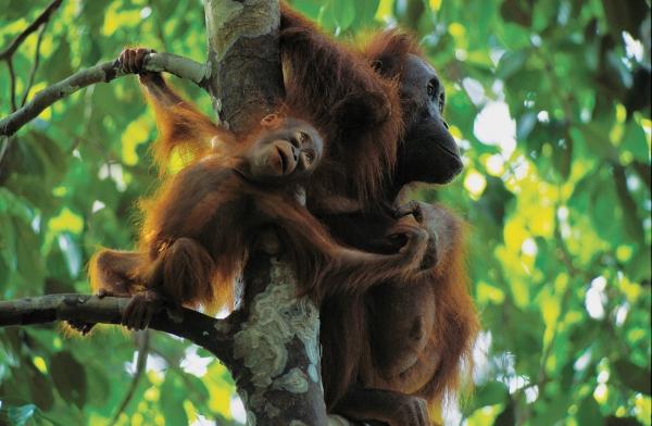 Một con khỉ không đuôi cái của đảo Borneo mang đứa con một tuổi đến nơi an toàn. Loài khỉ này luôn phải đi tìm thức ăn. Cuộc sống của chúng xoay quanh việc tìm kiếm thức ăn. Dường như bộ não của loài khỉ này được