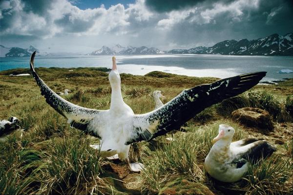 Một chú chim hải âu đực lớn đang giang đôi cánh rộng hơn 3m của mình để