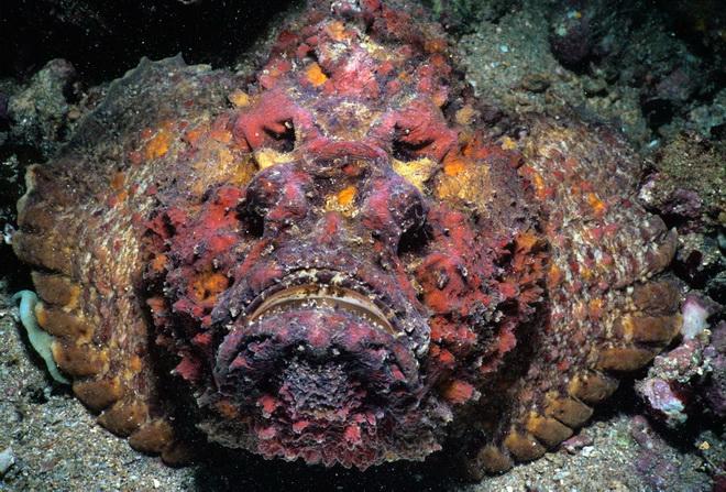 Cá đá là một trong những loài nguy hiểm nhất. Những cái ngạnh sắc nhọn ở sống lưng của nó chứa lượng độc tố đủ để làm chết một con mồi lớn. Chúng thường được tìm thấy ở các vùng ven biển ở Ấn Độ Dương-Thái Bình Dương cũng như ngoài khơi bờ biển Florida và trong vùng biển Caribbean.