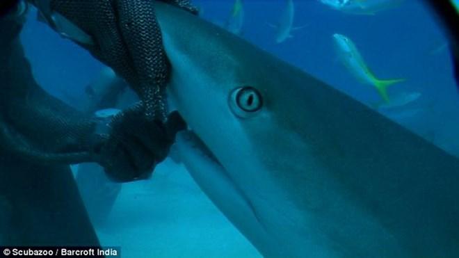 Cá mập không phải là một sinh vật nổi tiếng nhờ sự thân thiện của nó với con người. Tuy nhiên, các thợ lặn vùng Bahamas đã chứng minh rằng với một chút mẹo và lòng can đảm, họ có thể giữ một con cá mập san hô Caribe trên tay mình theo chiều thẳng đứng và thậm chí vuốt mũi của nó.