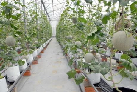 Mô hình trồng dưa lưới trong nhà kính của Vingroup từng đạt năng suất chất lượng vượt bậc